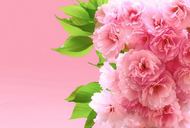 これぞ春の健康常識! 桜の花エキスで美肌・美白を手に入れよう