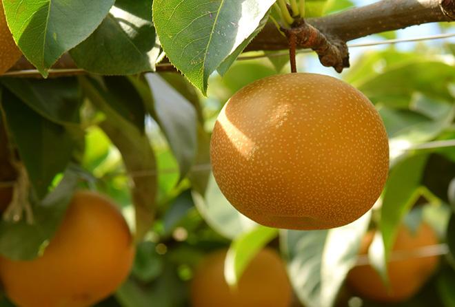 そろそろ旬の梨は夏バテ解消の特効薬だった!