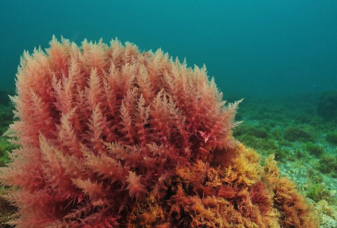 海藻なのにベーコン味! 海外で話題のスーパーフード「ダルス」