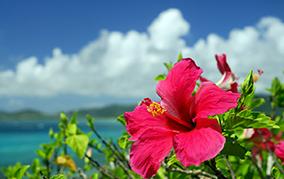 夏の疲労回復に効く! ! 南国の赤い花ハイビスカス